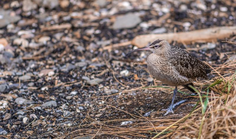 Whimbrel from The Gulf of St. Lawrence stock photos