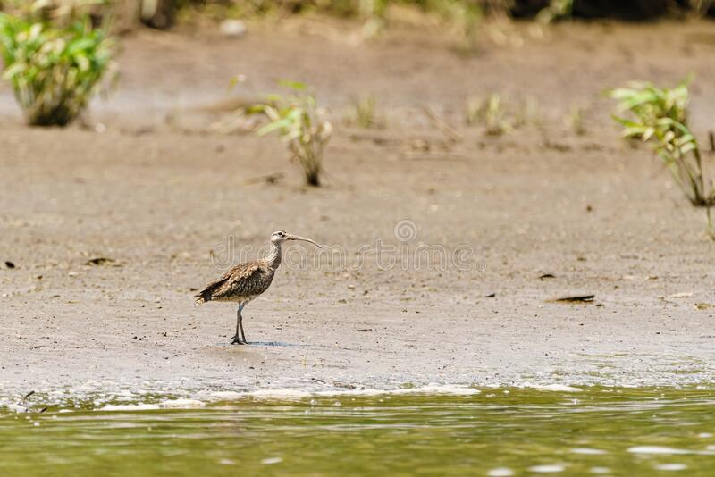 Whimbrel & x28;Numenius phaeopus& x29; on the edge of a river, taken in Costa Rica royalty free stock photography