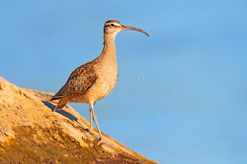 Whimbrel, Numenius phaeopus in the green water, walking in the nature forest habitat. Wader bird with curved bill. Whimbrel, Numenius phaeopus in the green royalty free stock images