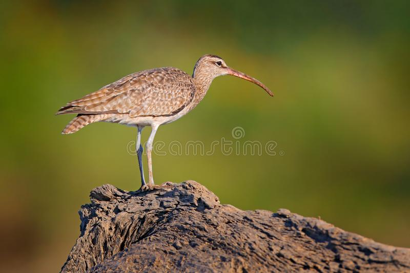 Whimbrel, Numenius phaeopus on the tree trunk, walking in the nature forest habitat. Wader bird with curved bill. Whimbrel, Numenius phaeopus on the tree trunk stock photo