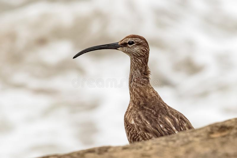 A Whimbrel, Numenius phaeopus, wader / shorebird. Close up of head and curved beak. A Whimbrel, Numenius phaeopus, wading bird, rests on rocks by the seashore stock photography
