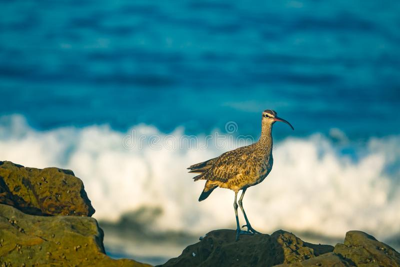 A Whimbrel Shore Bird Perches on the Rocks in Front of the Pacific Ocean in Southern California. Curved Beaked Shore Bird in Southern California With The Pacific stock photos