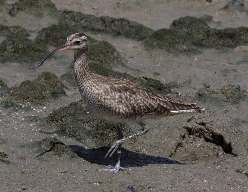 Whimbrel Wader in Australasia. Large wading bird with large curved bill stock photo