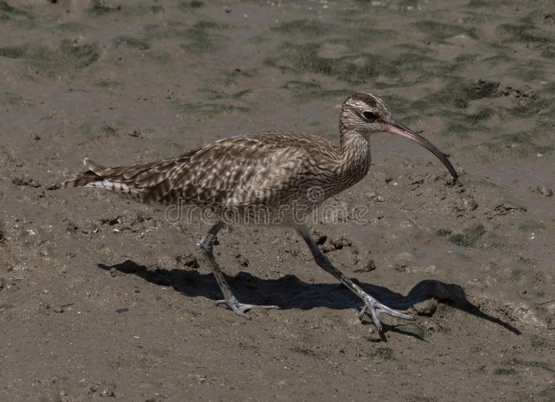 Whimbrel Wader in Australasia. Large wading bird with large curved bill royalty free stock photo