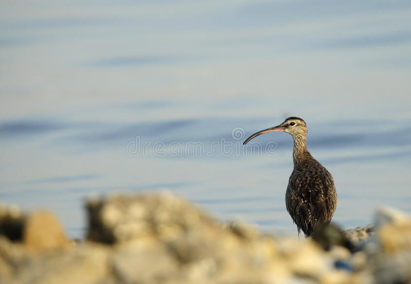Whimbrel. The Whimbrel is a wader bird with curved bill royalty free stock images