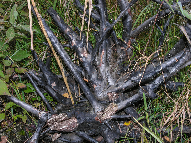 Whimsical branched birch root stock photos