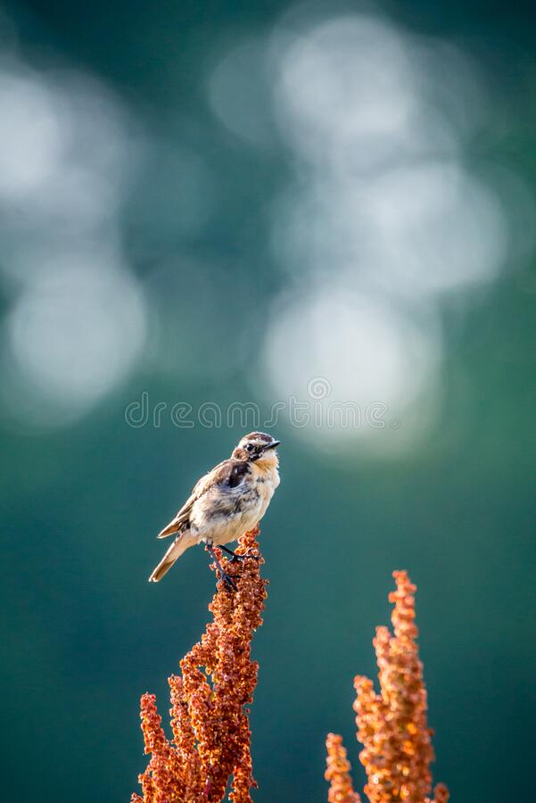 Whinchat wild bird on a grass royalty free stock image