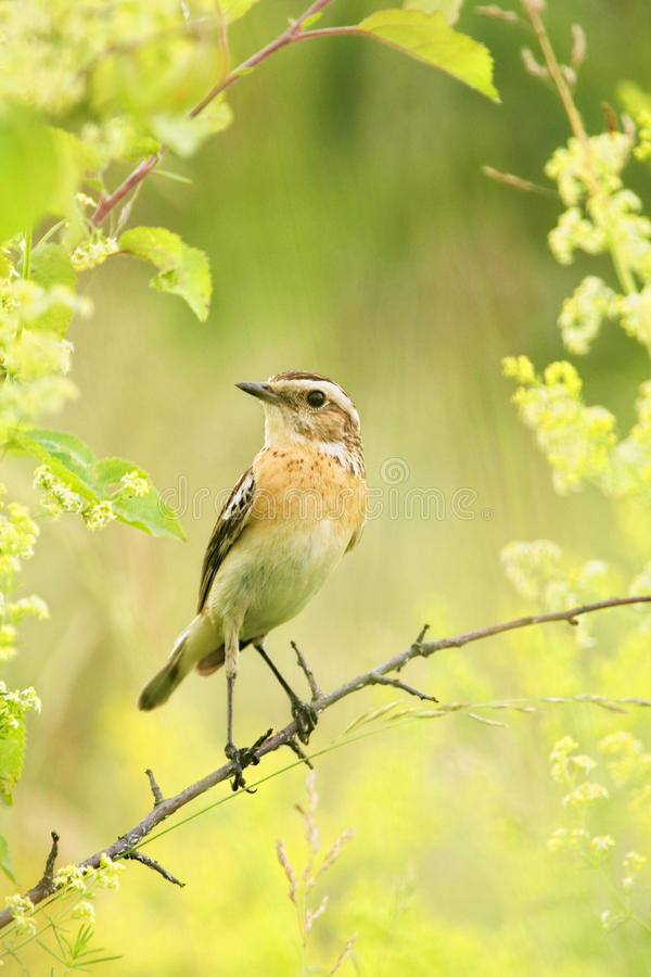 Whinchat stock images