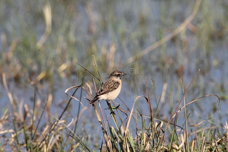 Whinchat stock photography