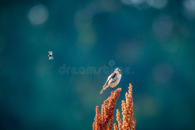 Whinchat wild bird on a grass stock photos