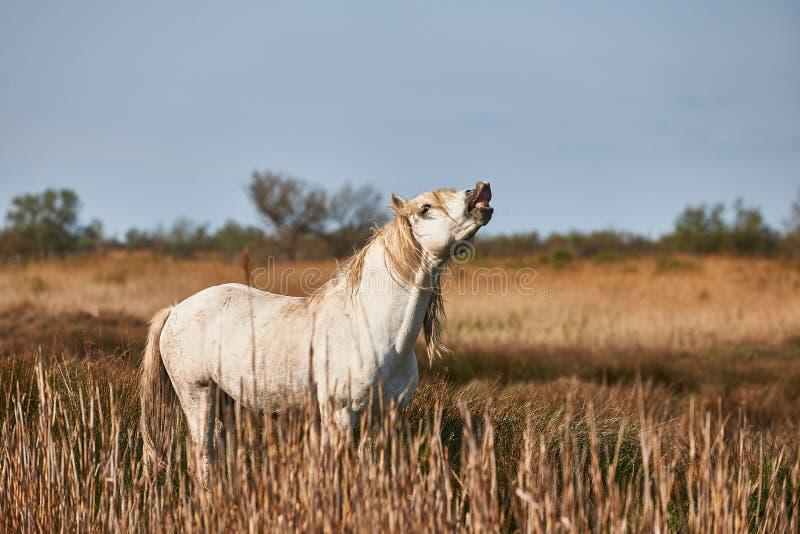 Whinnies för en vit häst arkivbilder