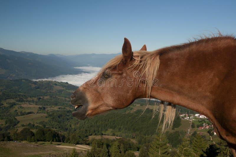 Whinnying koń zdjęcie stock