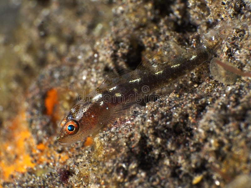 Whip coral goby stock photo