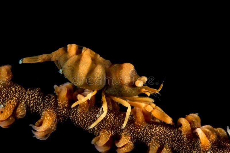 Whip Coral Shrimp immagine stock libera da diritti