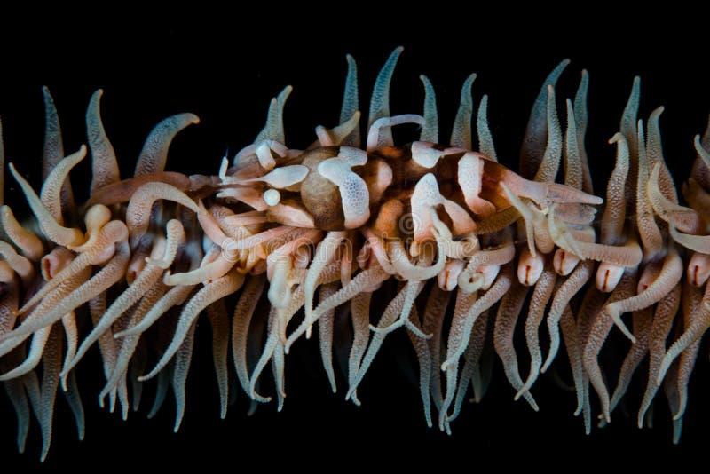 Whip Coral Shrimp en Indonesia foto de archivo