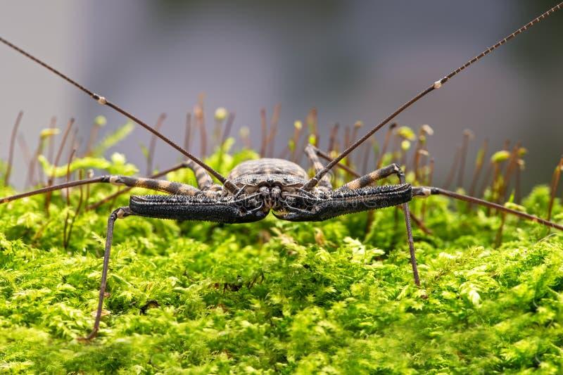 Whip Scorpion (amblypygi) fotos de archivo libres de regalías