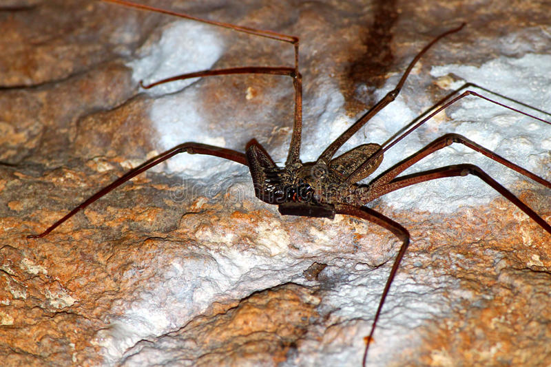 Whip Scorpion Puerto Rico stock foto
