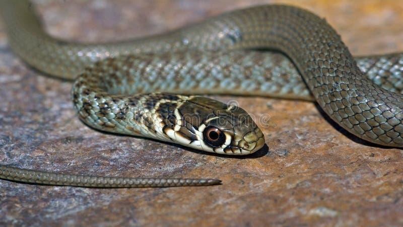 Whip Snake verde joven de Italia fotografía de archivo libre de regalías