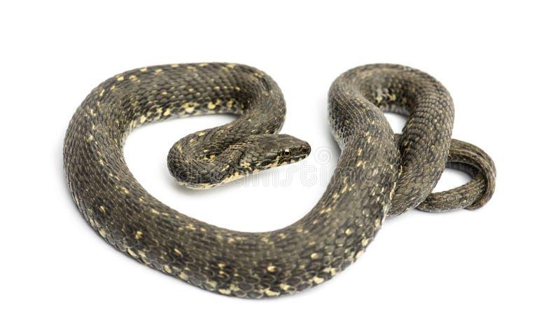 Whip Snake verde, viridiflavus de Hierophis, aislado imagen de archivo