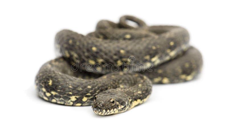 Whip Snake verde, viridiflavus di Hierophis, isolato fotografia stock libera da diritti