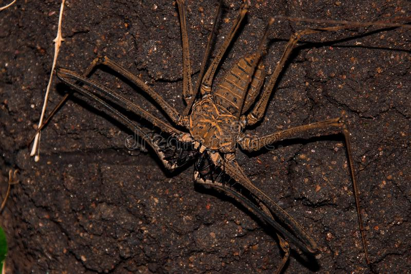 Whip spider: the fangs of fear. This scary creature is an Amblypygi, from the spiders family royalty free stock photos
