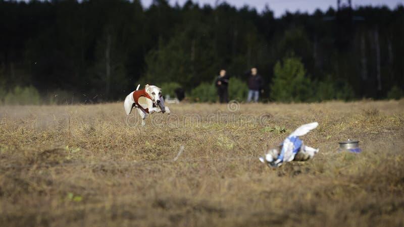 Whippet狗赛跑 追猎,激情和速度 免版税图库摄影