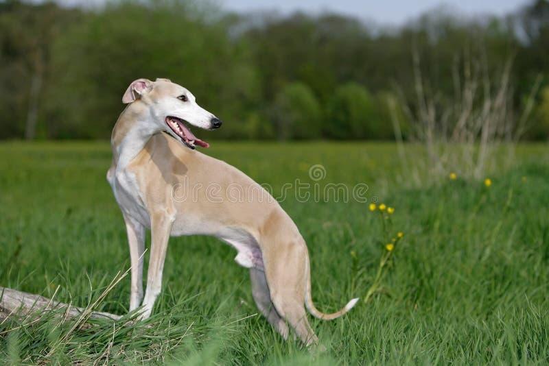 whippet собаки стоковое изображение