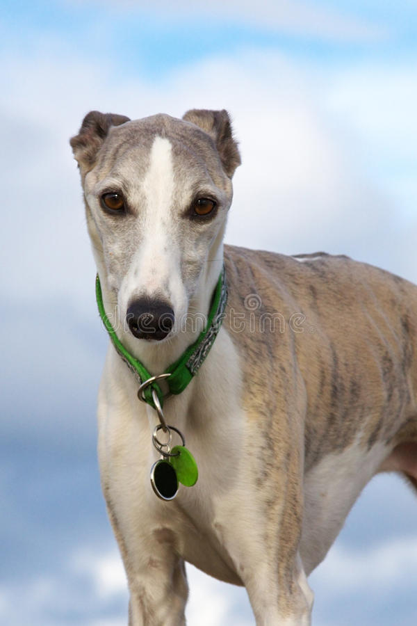 Whippet photographie stock