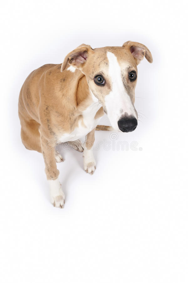 Whippet stock image