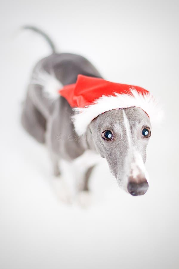 Whippet avec le chapeau de Santa image libre de droits