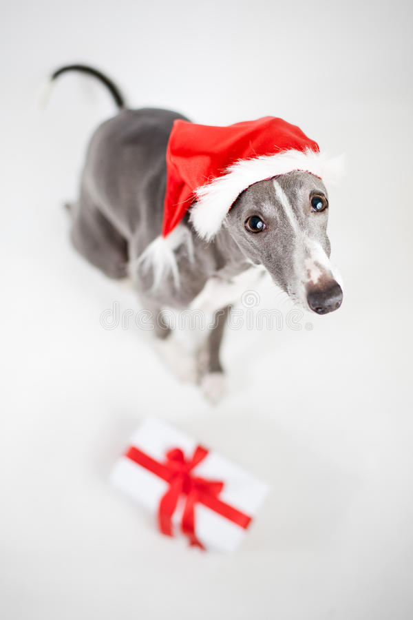 Whippet avec le chapeau et le cadeau de Noël de Santa photographie stock