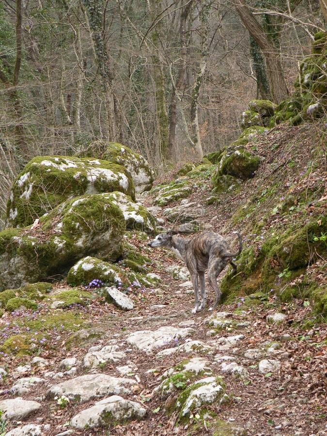 Whippet in the background of trees,stones,rockswith moss royalty free stock photos