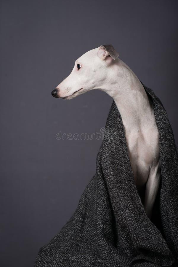 Whippet de chien photographie stock libre de droits