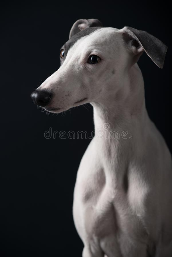 Whippet de chien photos libres de droits