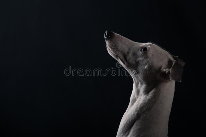 Whippet de chien photo libre de droits