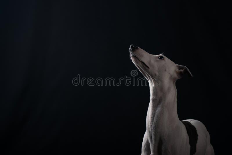 Whippet de chien photos stock