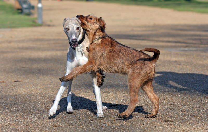 whippet del terrier irlandese fotografia stock