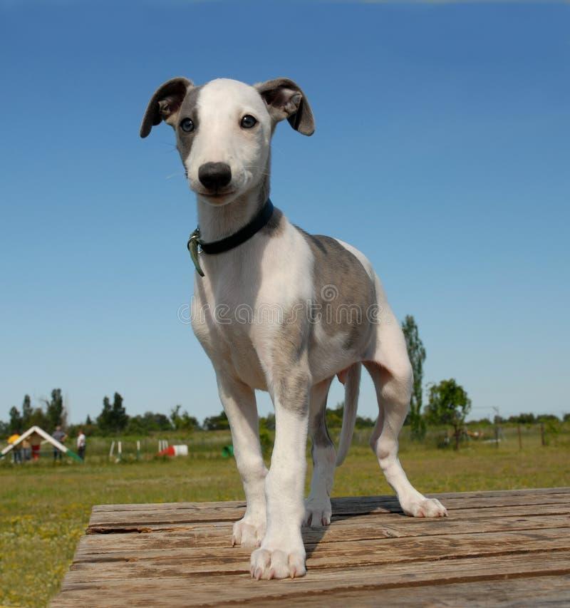 Whippet do filhote de cachorro imagem de stock royalty free