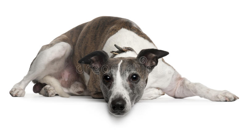 Whippet dog, 10 years old, lying stock images