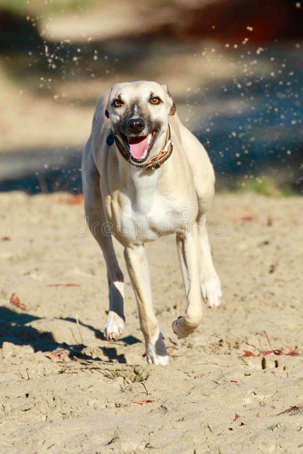 Whippet dog stock photography