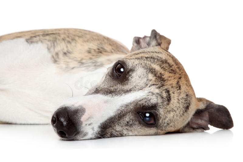 Whippet dog resting on a white background royalty free stock image