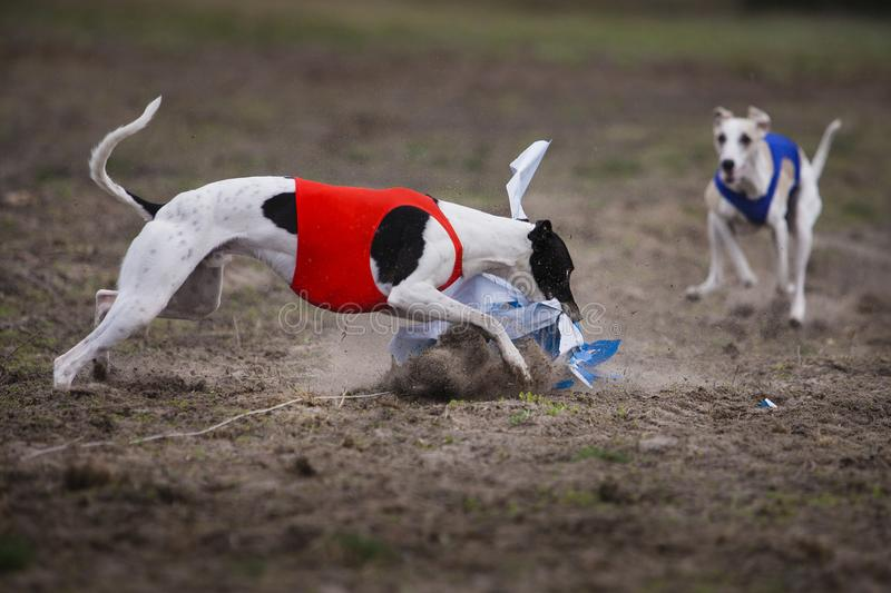 Whippet dog running in the field stock images