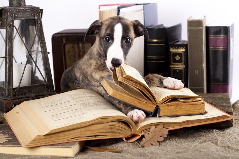Whippet e libro immagine stock libera da diritti