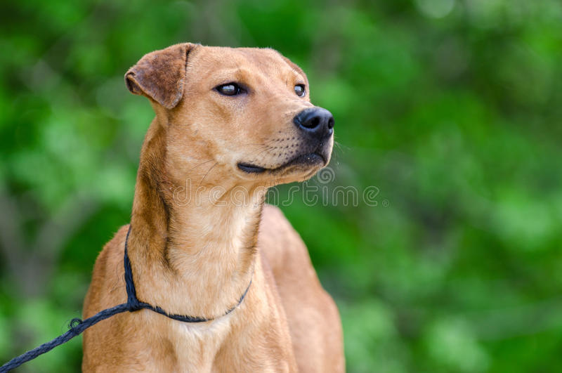 Whippet Feist mixed breed dog royalty free stock photography