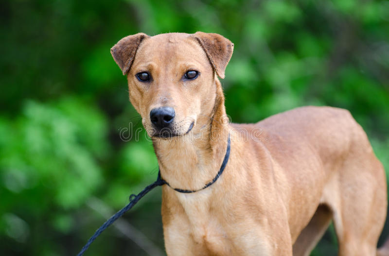 Whippet Feist mixed breed dog. Red female Whippet Feist mixed breed dog sighthound, outdoor background, Walton County Animal Control Shelter photography, humane royalty free stock images