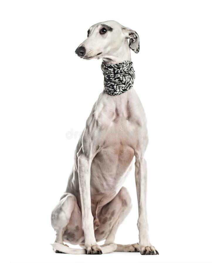 Whippet Galgo espanol, hund som bort som ser isoleras på vit (6 arkivfoto