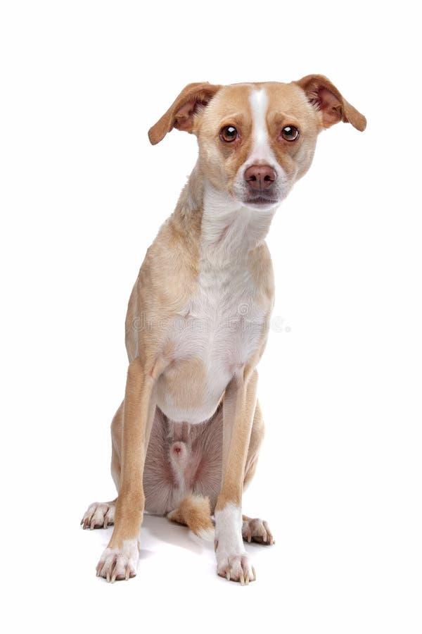 Whippet gemengde rassenhond royalty-vrije stock fotografie