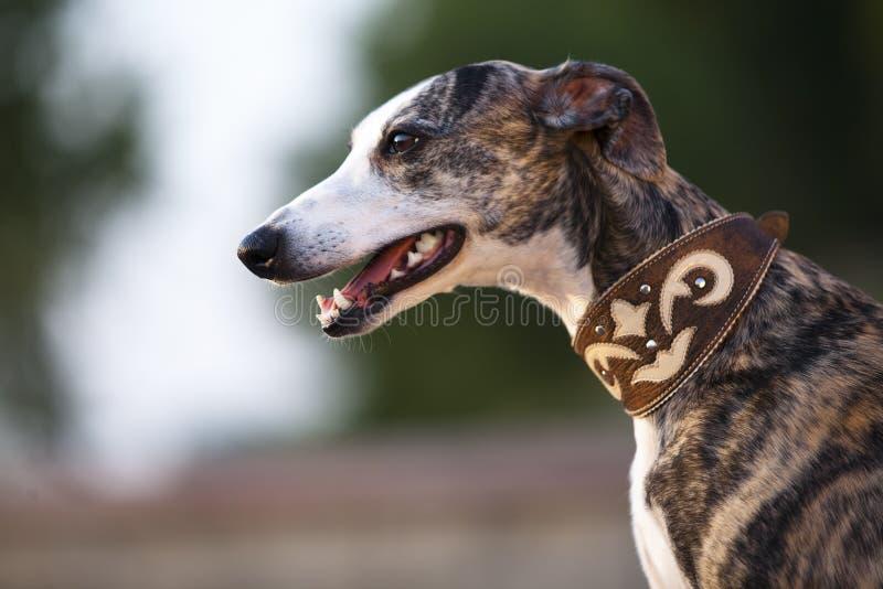 Whippet Hund stockfotos