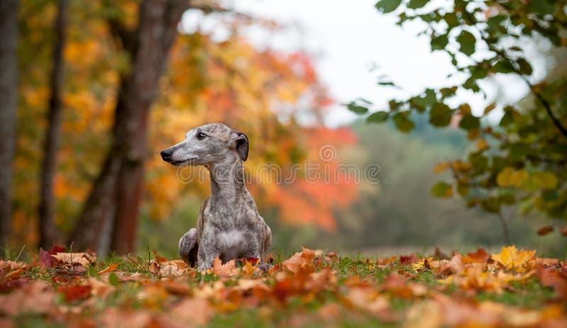 Whippet-Hund, der auf dem Gras liegt Herbstlaub im Hintergrund lizenzfreie stockfotografie
