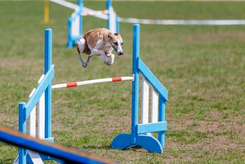 Whippet i hopp över hindret i hundvighetprov fotografering för bildbyråer